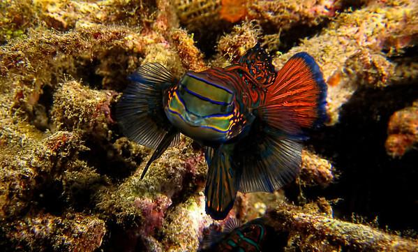 Mandarin Fish Hover