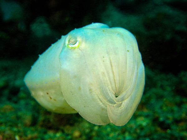 White Pigmy Squid