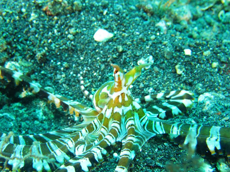 Wonderpus Octopus 2