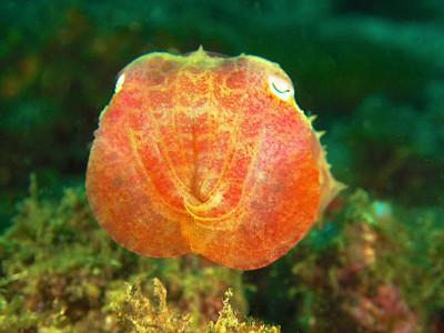 Pigmy Squid