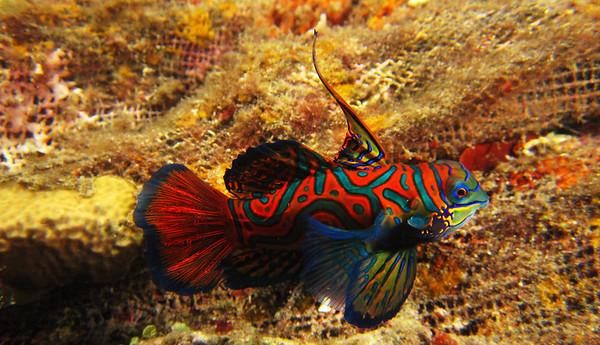 Mandarin Fish 1