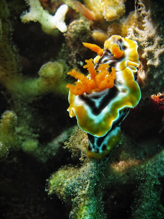 Nudi Magnificient Chromodoris