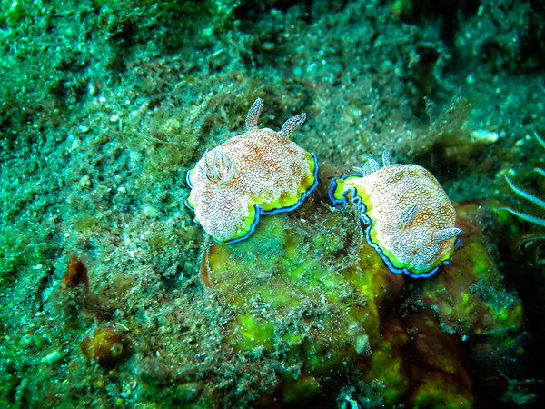 Nudi White Spotted Chromodoris