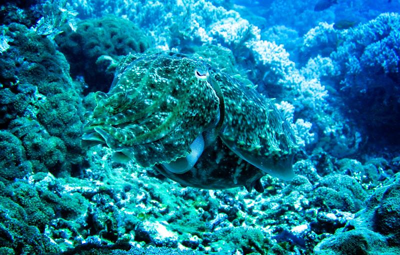 Large Cuttle Fish