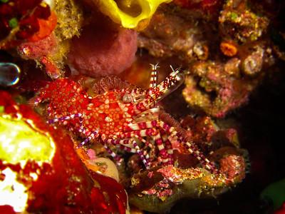 Marbled Complex Shrimp