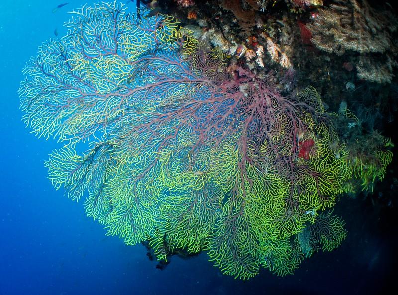 Coral Fans