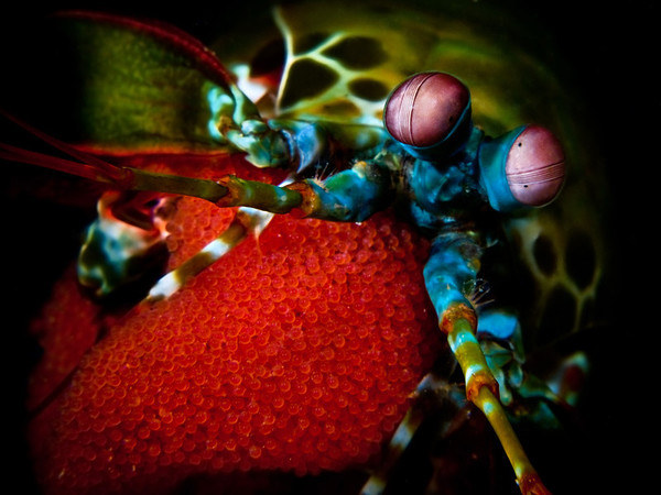 Female Peacock Mantis Shrimp with Egg Clutch (Odontodactylus scyllarus)<br /> Location: Anilao, Philippines