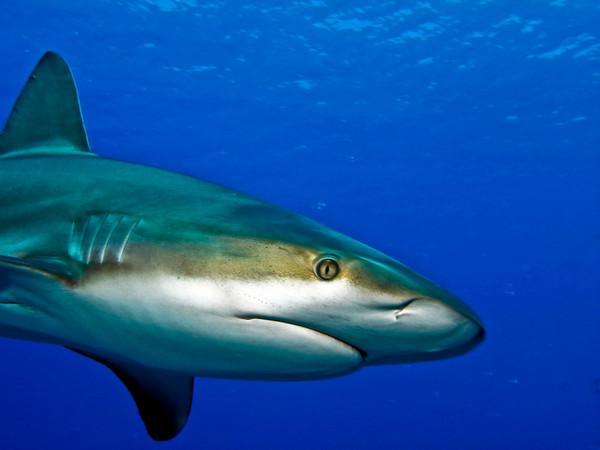 Caribbean Reef Shark (Carcharhinus perezi)<br /> Location: Bahamas