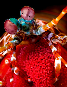 Peacock Mantis Shrimp (female) with Egg Clutch (Odontodactylus scyllarus) Location: Anilao, Philippines