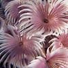 Feather Duster Worms (Bispira brunnea)<br /> Location: Bahamas