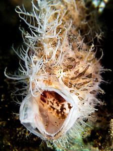 Yawning Hairy Frogfish (Antennarius striatus) Location: Anilao, Philippines