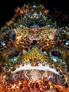 Scorpionfish Location: Komodo, Indonesia
