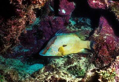 Hogfish, Belize
