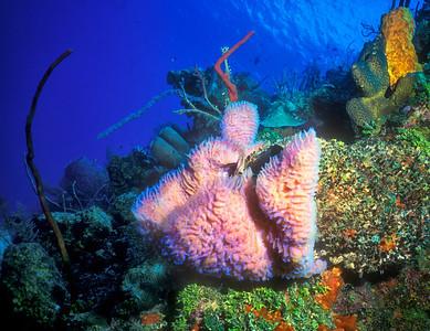 Azure vase sponge, Grand Cayman
