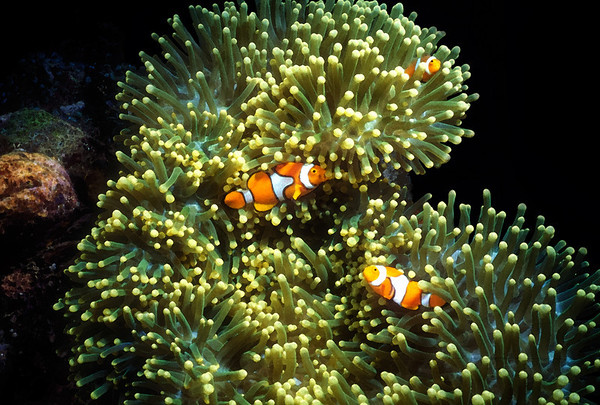 Clownfish and Anenome