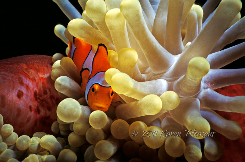 Clownfish and Anenome, Papua New Guinea