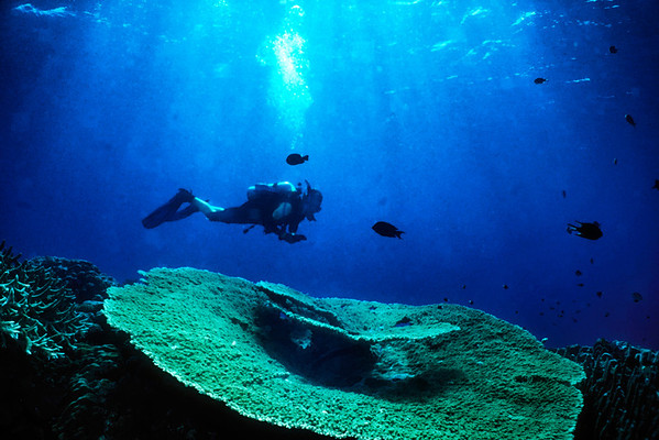 Diver over large coral