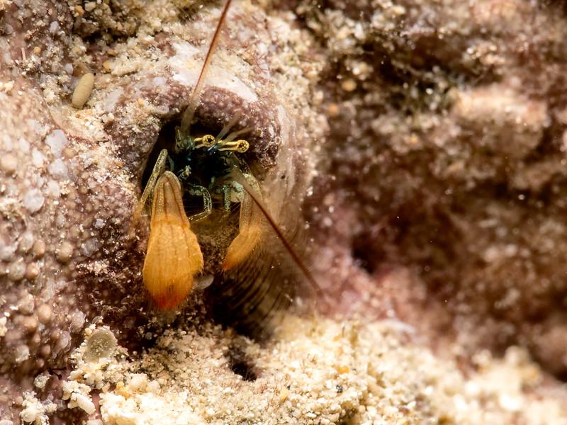 Kropp's Hermit Crab (Paguritta kroppi)
