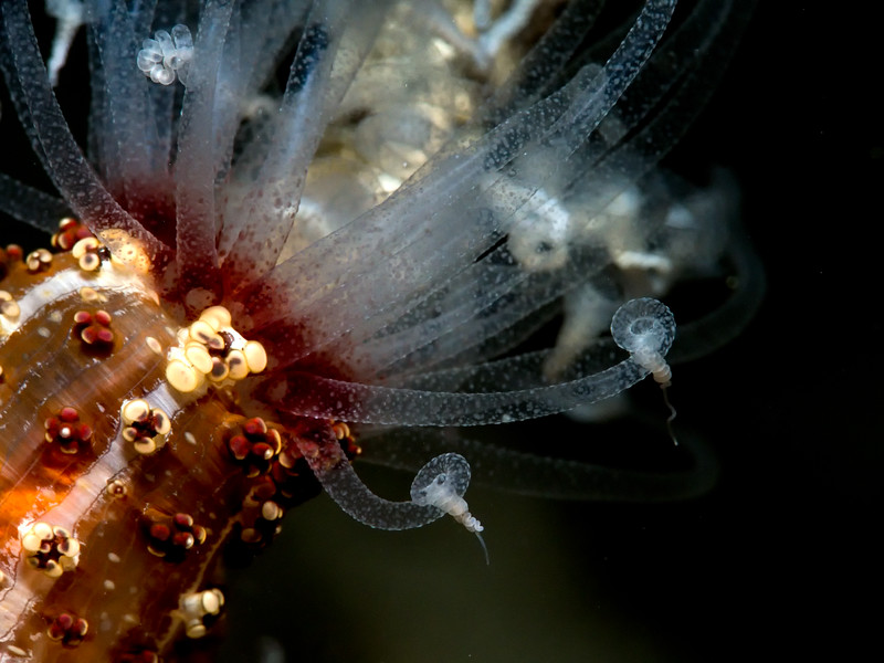Tuberculate Night Anemone (Alicia sansibarensis)