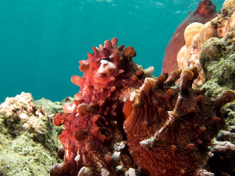 Mating Octopus