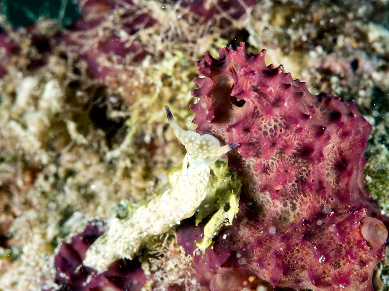 Plakobranchus sp.