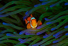 False Ocellaris Clownfish ©2018 Janelle Orth