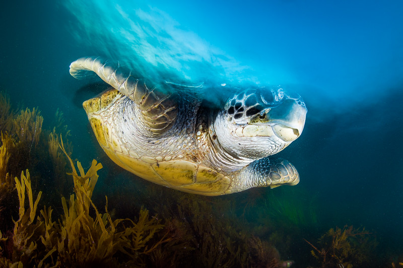 San Diego, CA.  A green sea turtle (Chelonia mydas) returns to the reef after exchanging air at the surface. Years of terrestrial and marine conservation efforts in the United States and Mexico have proven fruitful as populations of green sea turtles continue to rise in California waters.