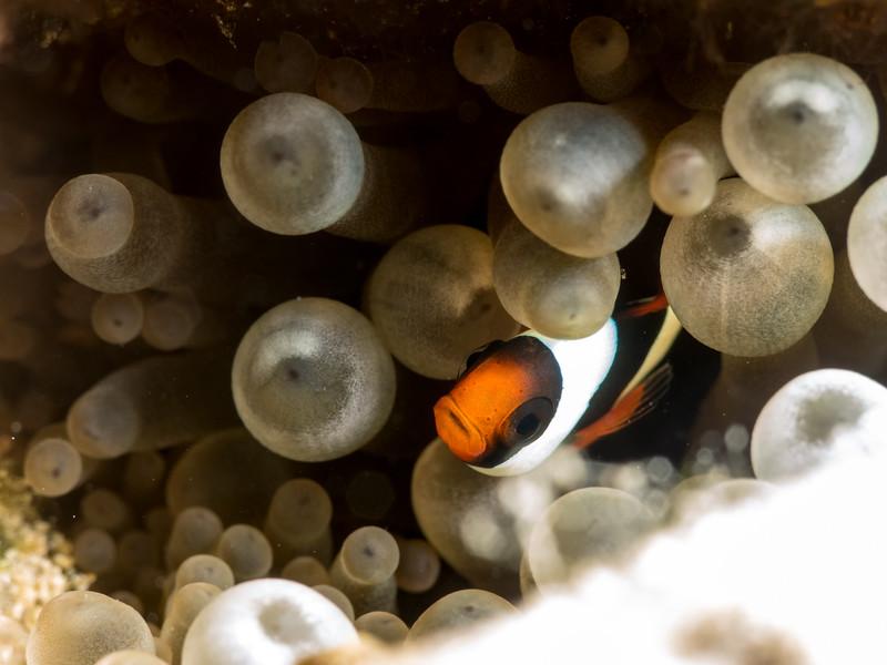 Baby Anemonefish