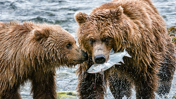 Alaska's Grizzly Bears