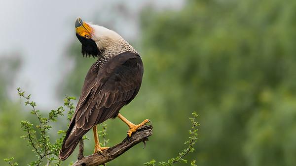 Birds of Texas- Raptors