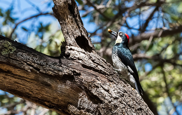 Acorn woodpecker, Ramsey Canyon