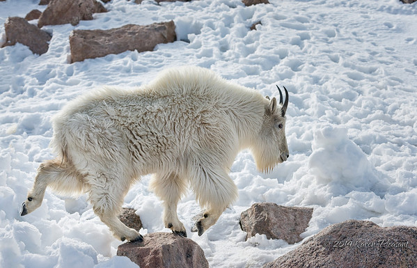 Mountain goat on the move