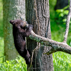 Black Bear cub, Smokey Mountains National park