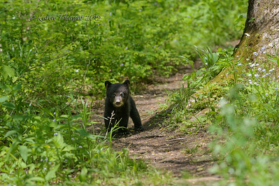 Black Bear Cub, Smokey Mountains National Park, Tn