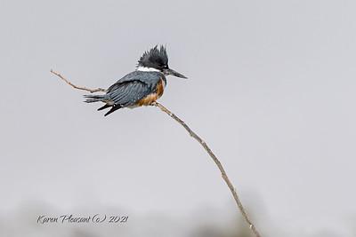 Belted Kingfisher, Dubois, Wyoming