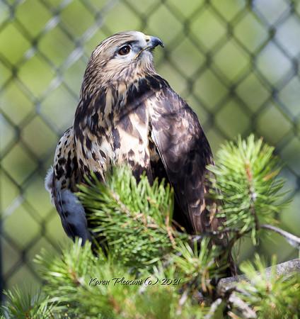 Roughlegged hawk