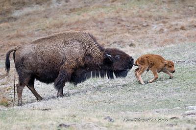 """Newborn """"red dog"""" bison"""