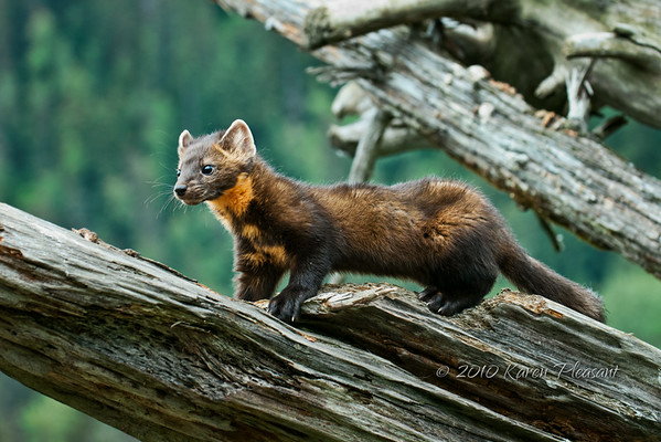 Pine Marten, Kroeschel Wildlife Sanctuary