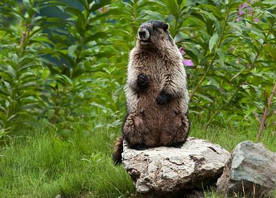 Marmot, Hyder