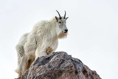 Mountain Goat, Mt. Evans, Colorado