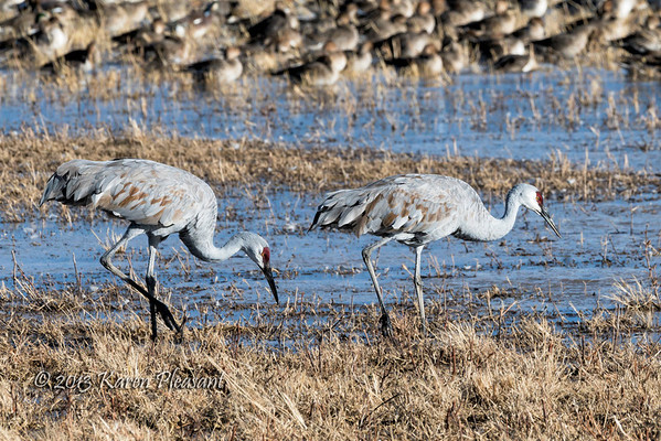 Cranes, Bosque del Apache