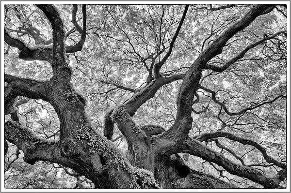 Angel Oak, Charleston, SC