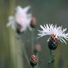 White Knapweed