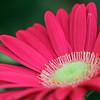 My Pink Gerbera