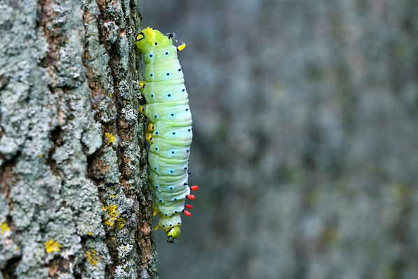 Promethea Silkmoth Caterpillar