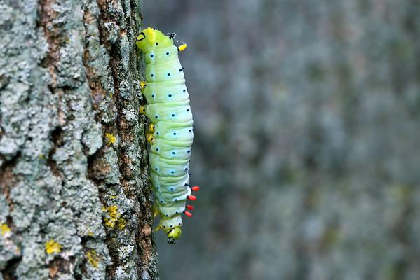 Promethea Silkmoth Caterpillar