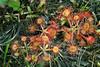 Sundew Plants