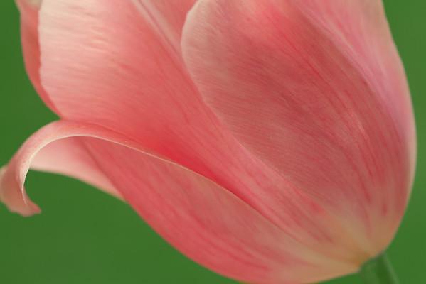 Tulip Lines