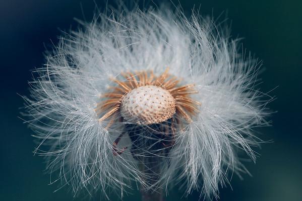 Dandelion Bedhead