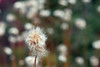 Cottongrass Bokeh